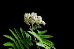 Blossom rowan branch at black background. Blossom rowan branch with green leaves at black background Stock Photo
