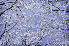 Blossom sakura flower on tree under winter sky. Blossom sakura flower on tree in low angle view under blue winter sky Stock Photos
