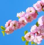 Blossom Sakura season Royalty Free Stock Image