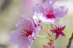 Blossom of sakura tree blooming in spring and close-up royalty free stock photography