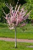 Blossom sakura tree. Blossom pink sakura tree in springtime Royalty Free Stock Image