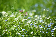 Blossom Scilla in the green grass Royalty Free Stock Images