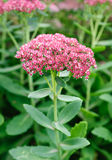 Blossom sedum, stonecrop, crassula . Royalty Free Stock Images