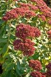 Blossom sedum, stonecrop, crassula Stock Images