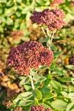 Blossom sedum, stonecrop, crassula . Stock Photo