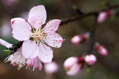 Blossom. Sharp lovely pink blossom against a blurry background Royalty Free Stock Photos
