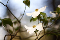 Blossom. Sharp lovely white blossom against a blurry background Royalty Free Stock Photography