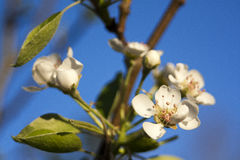 Blossom. Sharp lovely white blossoms against a blurry background Royalty Free Stock Photos