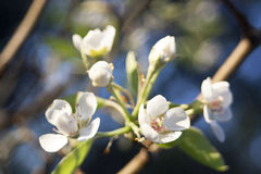 Blossom. Sharp lovely white blossoms against a blurry background Stock Image