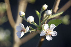 Blossom. Sharp lovely white blossoms against a blurry background Stock Images
