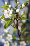 Blossom. Sharp lovely white blossoms against a blurry background Royalty Free Stock Image