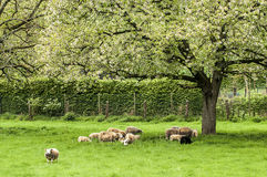 Blossom and sheep. Old apple trees in the grassland with some grazing sheep Royalty Free Stock Photo