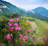 Blossom shrub and mountain landscape Royalty Free Stock Image
