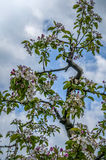 Blossom in the sky. Apple blossom against a blue cloudy sky Stock Images