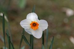 Blossom of the small cupped narcissus Barret Browning. Blossom of the small cupped narcissus sort Barret Browning stock photo