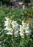 Blossom Snapdragons  in garden Stock Images