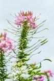 Blossom spider flower Stock Photos