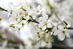 Blossom spring. Bloom cherry grow spring white Stock Photography