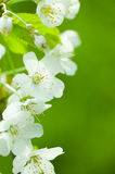 Blossom in spring Royalty Free Stock Photo