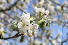 Blossom, Spring, Branch, Cherry Blossom stock image