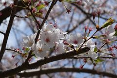 Blossom, Spring, Branch, Flower royalty free stock photography