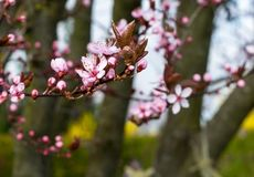 Blossom, Spring, Branch, Pink royalty free stock image