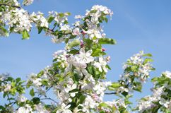 Blossom, Spring, Branch, Sky royalty free stock images