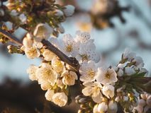 Blossom, Spring, Cherry Blossom, Branch royalty free stock photography