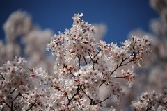 Blossom, Spring, Cherry Blossom, Flower royalty free stock photography