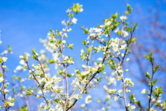 Blossom spring cherry branches Stock Photography