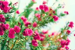 Blossom spring, exotic summer, sunny day concept. Blooming pink oleander flower or nerium in garden. Wild flowers in. Israel. Selective focus. Copy space Royalty Free Stock Photos