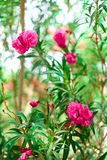 Blossom spring, exotic summer, sunny day concept. Blooming pink oleander flower or nerium in garden. Wild flowers in. Israel. Selective focus. Copy space Stock Photo