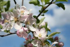 Blossom, Spring, Flower, Branch stock image