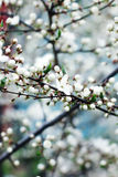 Blossom spring-flowers with shallow depth of field Royalty Free Stock Images