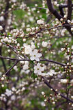Blossom spring-flowers with shallow depth of field Stock Images