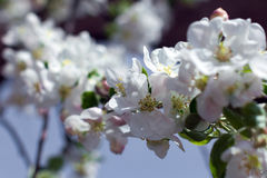 Blossom spring-flowers with shallow depth of field Royalty Free Stock Photos