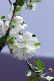 Blossom spring-flowers with shallow depth of field Stock Image