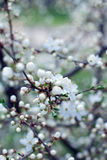 Blossom spring-flowers with shallow depth of field Royalty Free Stock Photo