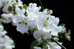 Blossom spring-flowers with shallow depth of field Royalty Free Stock Photography