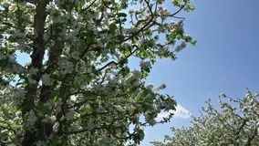 Blossom spring orchard, looking up to sky, sun rays shinning throw tree branches