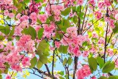 Blossom spring Paris Royalty Free Stock Image