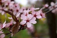 Blossom, Spring, Pink, Flower royalty free stock image