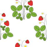 Blossom strawbbery with ripe fruits and flowers on white background. Vector illustration vector illustration