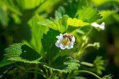 Blossom strawberry with bee Royalty Free Stock Images