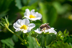 Blossom strawberry with bee Royalty Free Stock Photography