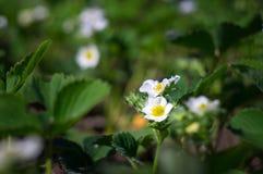 Blossom strawberry in the garden Stock Image