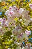 Blossom sukura tree Royalty Free Stock Photography