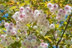 Blossom sukura tree Royalty Free Stock Image