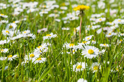 Blossom summer daisy flowers field Royalty Free Stock Image