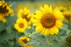 Blossom Sunflower Stock Photography